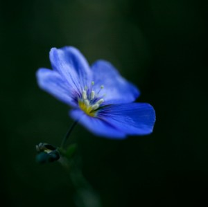 Brilliant Blue Flax Flower